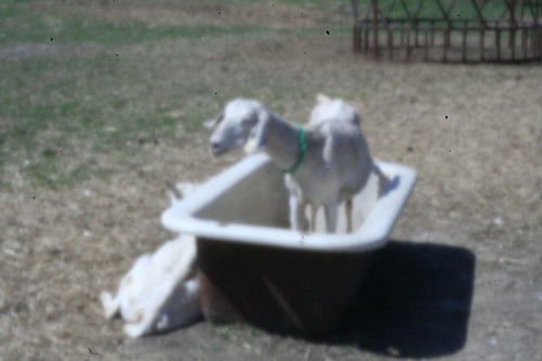 Goat_in_tub_large
