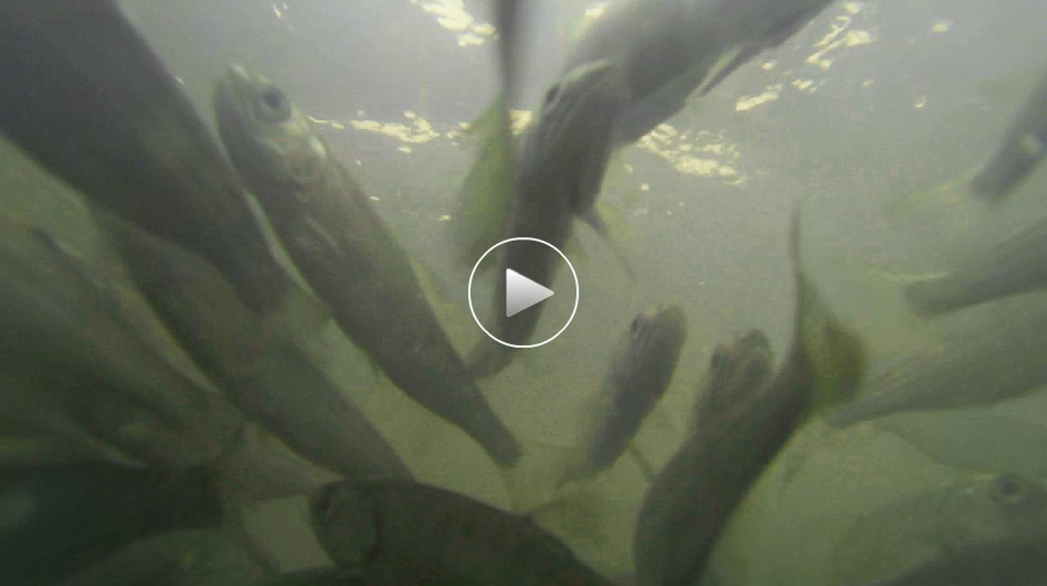 Drought and man-made obstacles lead fishery to boost releases of Chinook into Sacramento River.