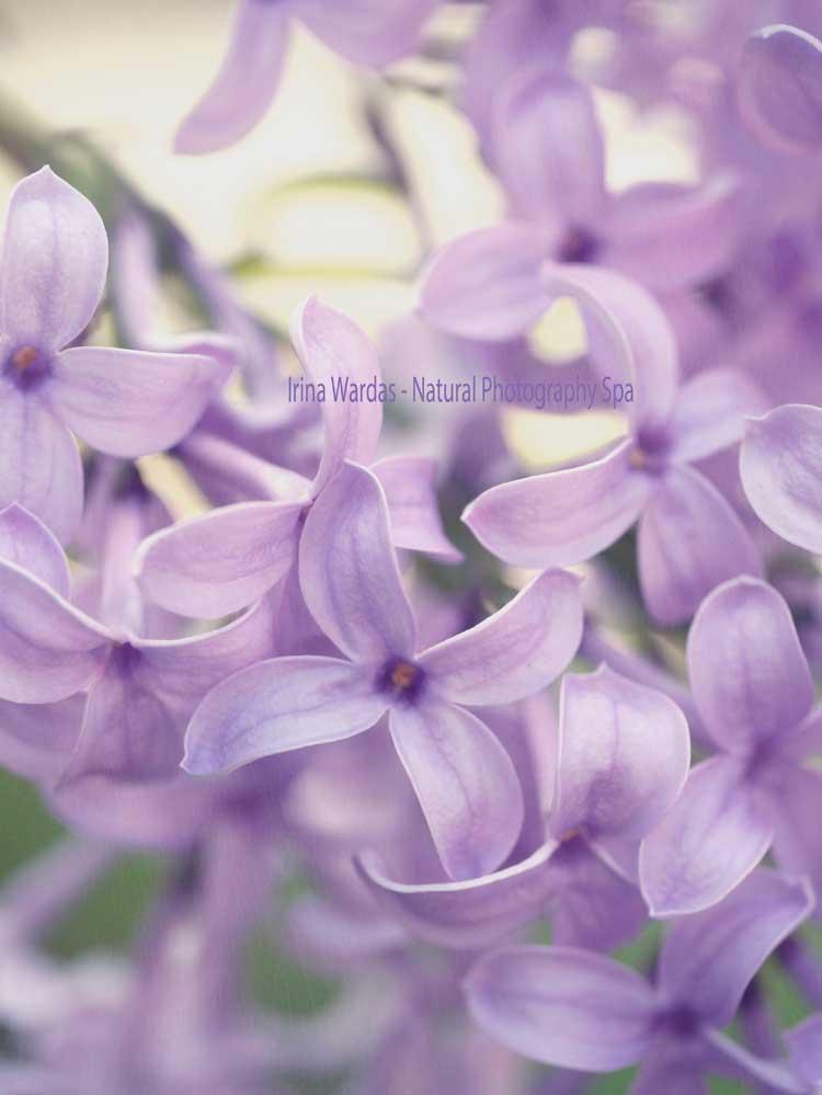 Lilac macro photography