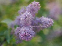 Lilac photography