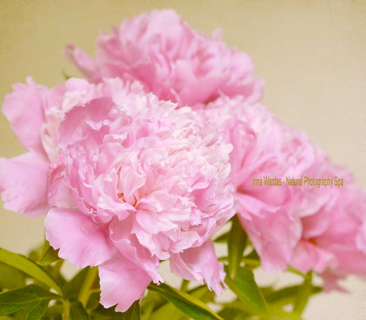 pink peony photography