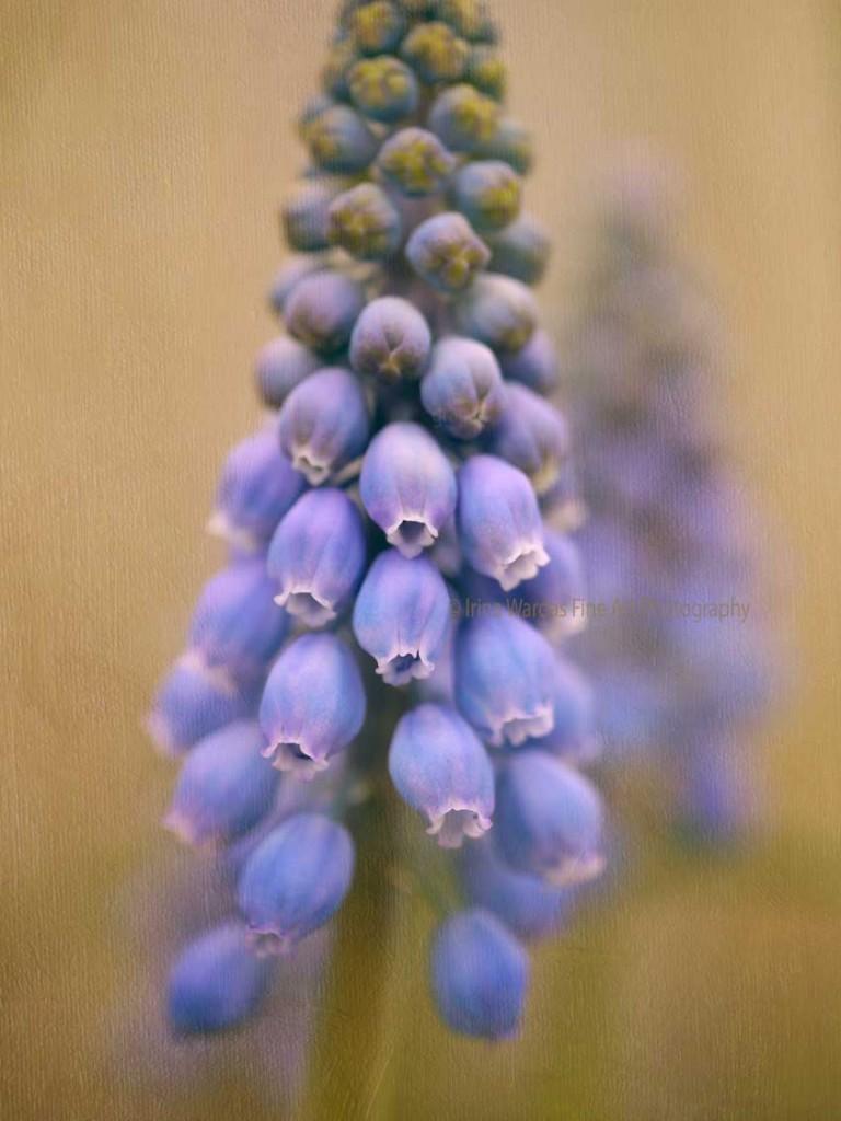 Grape Hyacinth photography