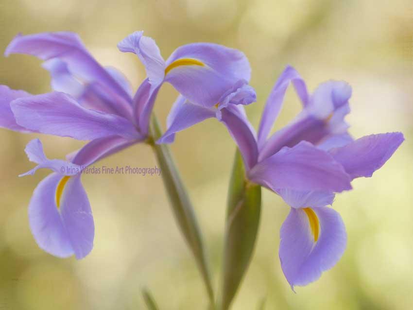 Violet-Spring -Flower