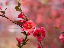 Japanese Quince photography