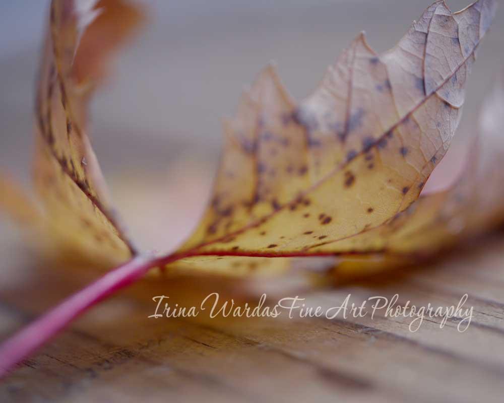 Dry broen leaf
