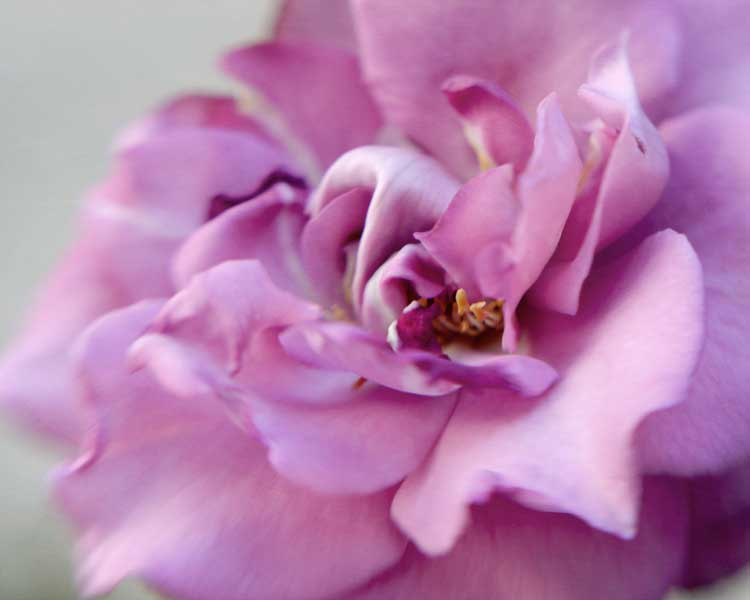 Lavender Rose photo meditation