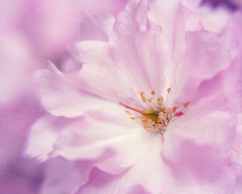 Cherry-blossom-macro-photog
