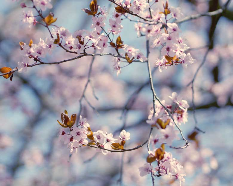 Spring-Blossom-photography