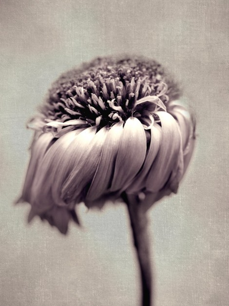 sepia-wilted-daisy