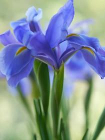 blue-lilac