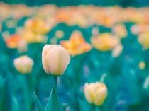 pastel spring tulip