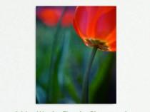 tulip-flower-canvas