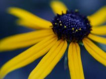 dark-blue-coneflower-fine-art