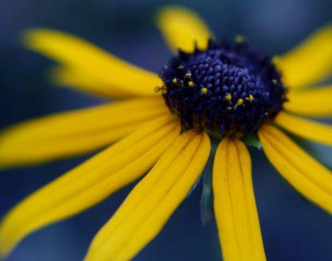 dark-blue-coneflower-fine-art