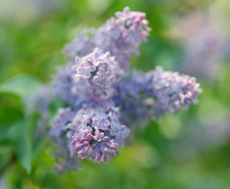 lilac-flower