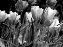 tulip wall decor