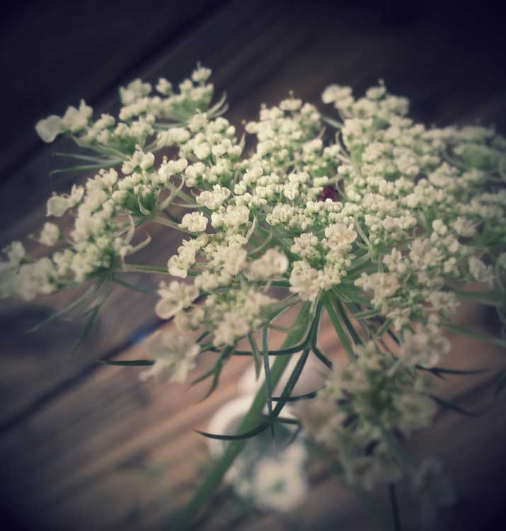 Queen Anne Lace photo