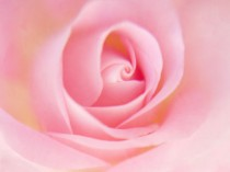 pink rose photo meditation