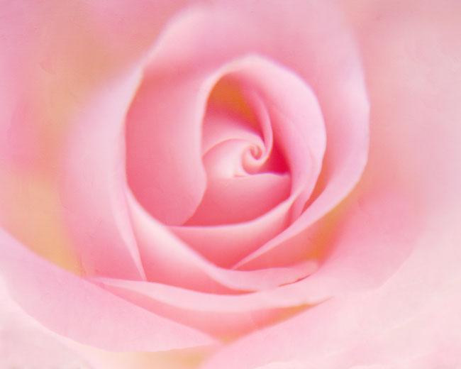 pink rose photo meditation