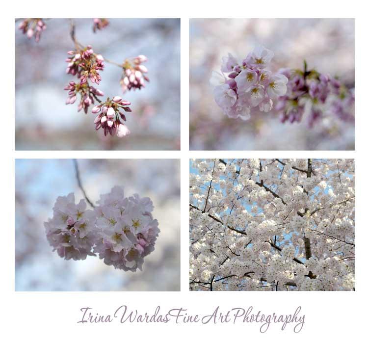 sawkura tree cherry tree blossom from WAshington DC