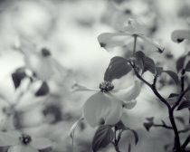Black and white nature photography, Dogwood picture flower art print tree branch art, Spring floral art botanical photo, grey wall art decor
