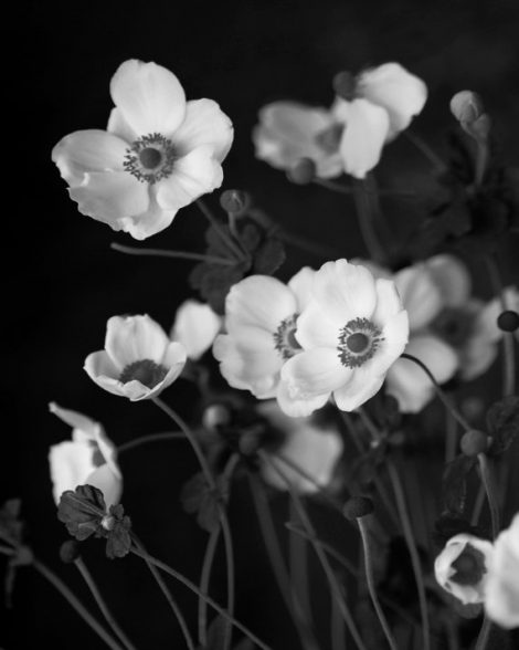 Black and white wall art flower photography, floral print 11x14, nature picture, Anemone photo, garden art, botanical print, vertical art