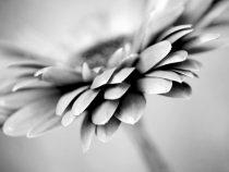 Black & white Gerbera flower photography, grey wall art, monochromatic print 11x14, modern wall decor botanical photo, nature gray artwork