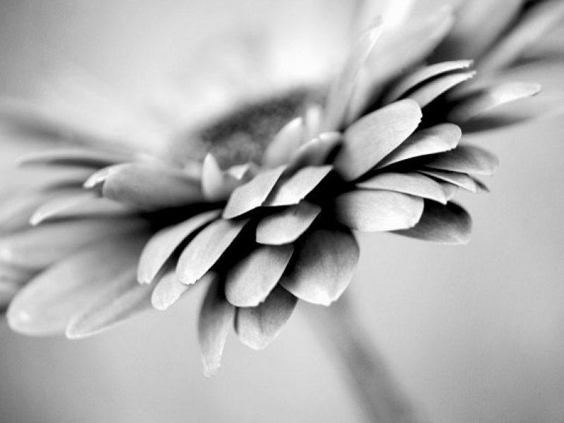 Nature grey colors modern botanical wall artwork gerbera flower description black and white flower mightylinksfo