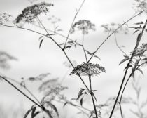 Black and white botanical photography, light grey white wall art, minimalist print nature picture 12x16, wildflowers photo decor, fennel art