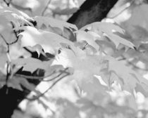 Black and white photography, tree branch print, tree leaves picture, minimal nature wall art, neutral grey modern art decor, botanical print