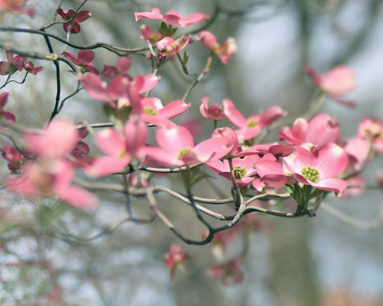 Pink dogwood flower photography