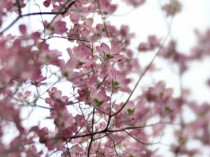 pink dogwood tree photography