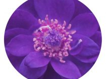 purple mandala photography