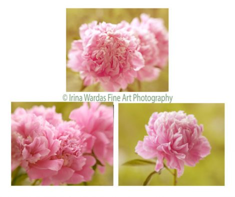Peony wall art, pink peonies photography set of 3 8x10 11x14 floral prints, peony art set, olive yellow pink bedroom wall art over bed decor