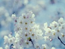Cherry blossom art, sakura bloom picture, blue and white Spring nature photograph, pastel nursery room, blue bedroom decor, botanical photo