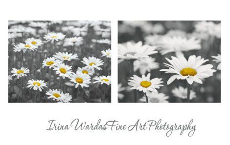 Grey and yellow wall art prints, 2 11x14 botanical photos, white daisy pictures floral phototography set, black and white, yellow grey decor