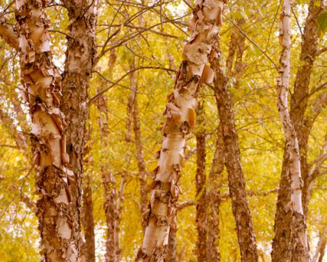 Yellow wall art, autumn tree photography, forest picture woodland, tree wall art, botanical photo 11x14, fall nature wall decor, rust brown