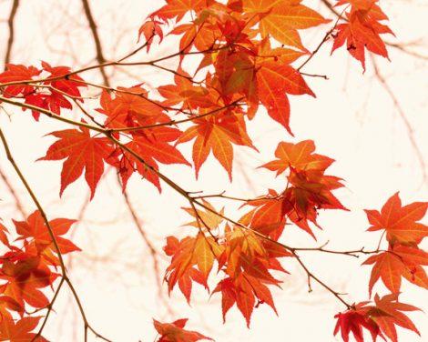 Autumn photography, orange artwork, botanical fall art print 11x14, maple tree branch modern wall art, white burnt orange living room decor