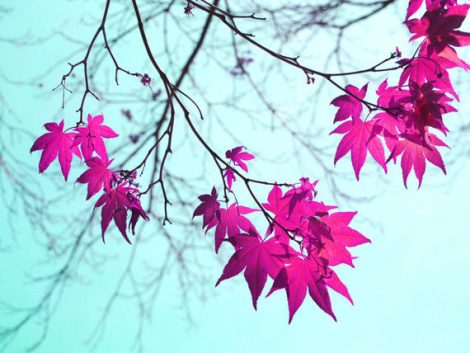 Aqua magenta wall art, tree branch art maple tree red leaves picture, blue mint wall decor, nature photograph botanical print 11x14, 8x10