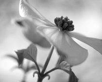 Black and white photography dogwood flower, grey white wall art print, nature wall art, floral photo, botanical photo 8x10, floral artwork