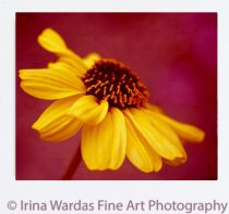 Yellow flower artwork, canvas floral gallery wrap, extra large art, burgundy yellow wall art decor, living room canvas, bedroom canvas print