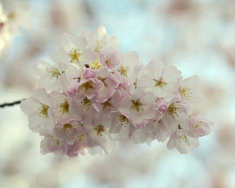 Cherry blossom art, spring photography, Sakura blossom print, pale nature picture aqua pink ivory decor, nursery girls room bedroom wall art