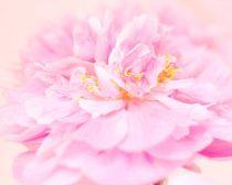 Pink peony photo, pastel peonies print 11x14, flower photography floral wall art, princess room decor, bedroom artwork, peach pink wall art