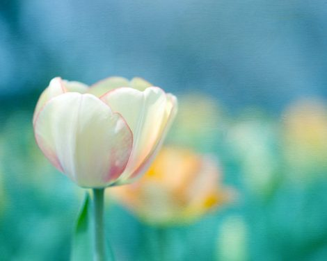 White tulip photography, teal turquoise wall art floral picture, Spring nature flower photograph, tulip field, orange blue cream decor