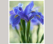 Blue flower art,  Iris photography print, mint green purple wall art, floral artwork, botanical photo nature vertical art print 12x16, 11x14
