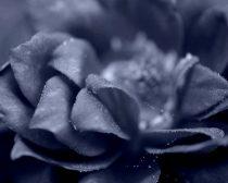 Dark photography, fine art flower photography, modern wall art, blue grey floral artwork, flower photo print gray black living room decor