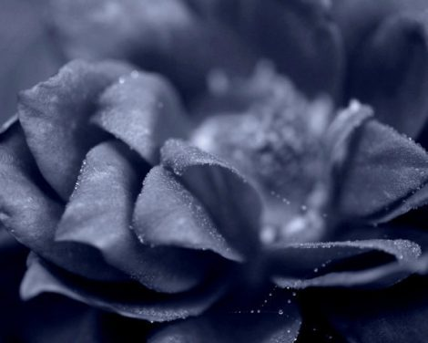 Dark photography, fine art flower photography, modern wall art, blue grey floral artwork, flower photo print gray black living room decor