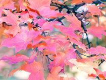 Pink leaves picture, tree photography, peach pink purple wall art, tree branches art, nature art print, botanical photo, colorful art print