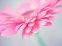 Modern flower artwork, pink grey girls bedroom decor, flower photograph pink flower wall art, Gerbera daisy picture, floral art magenta mint