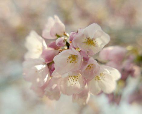 Cherry blossom Sakura art print, Spring nature photography, aqua beige pink floral wall decor, nursery print girl, bedroom art 12x12, 11x14